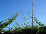 kiwifruit growing cane control system