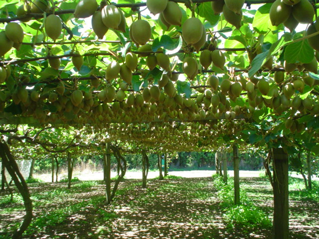 kiwifruit orchard air circulation and stringing growing system cane control supavine. Black Bedroom Furniture Sets. Home Design Ideas